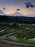 Terraços do arroz de Bali - de Jati Luwih Fotografia de Stock