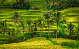 Terraços do arroz de Jatiluwih - Bali Fotos de Stock