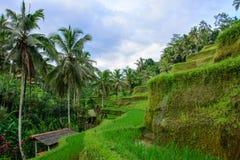 Terraços do arroz de Tegallalang perto de Ubud, Bali, Indonésia fotos de stock royalty free
