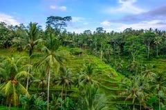 Terraços do arroz de Tegallalang, Ubud, Bali, Indonésia imagem de stock
