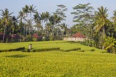 Terraços do arroz e fundo verdes de palmeiras e de casas do coco em Ubud, ilha Bali, Indonésia Fotografia de Stock
