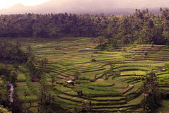 Terraços do arroz em bali Foto de Stock Royalty Free