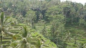 Terraços do arroz em Ubud, Bali video estoque