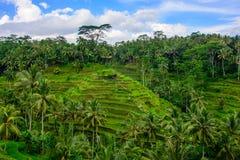 Terraços do arroz em Ubud, Bali, Indonésia imagem de stock royalty free