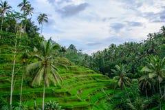 Terraços do arroz em Ubud, Bali, Indonésia fotografia de stock
