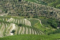 Terraços e oliveiras do vinhedo na região de Douro Foto de Stock Royalty Free