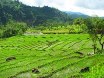 Terraços em Tegallalang, Bali do arroz, Indonésia fotografia de stock