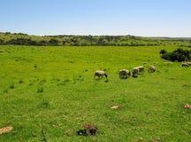 Terra africana dell'azienda agricola con bestiame Immagini Stock