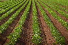 Terra agrícola com colheitas de fileira Fotografia de Stock Royalty Free