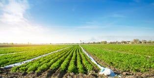 Terra agrícola com plantações da batata Vegetais org?nicos crescentes no campo fileiras vegetais agricultura cultivar foto de stock royalty free