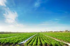 Terra agr?cola com planta??es da batata Vegetais org?nicos crescentes no campo fileiras vegetais agricultura cultivar fotos de stock royalty free
