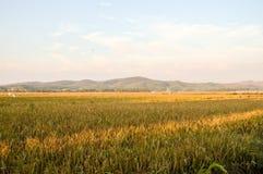 Terra amarela do arroz Fotografia de Stock Royalty Free