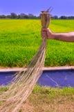 A terra arrendada do homem do fazendeiro secou campos do arroz da limpeza da erva daninha Imagens de Stock Royalty Free