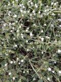 terra bianca e verde del piccolo fiore Fotografie Stock Libere da Diritti