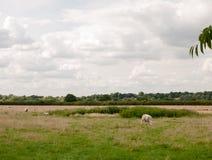 Terra britannica dell'azienda agricola del campo del prato con le pecore che pascono Immagini Stock