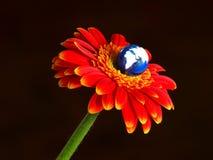 Terra che fiorisce dal fiore della gerbera Fotografia Stock
