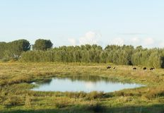 Terra com as vacas em Países Baixos Foto de Stock Royalty Free