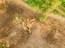 Terra com um grupo pequeno de cavalos que pastam em um dia de ver?o Vista a?rea do zang?o imagens de stock royalty free