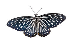 A terra comum isolada do homem mimica a borboleta Foto de Stock Royalty Free