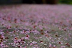 Terra de Cherry Petals Falling To The Imagem de Stock