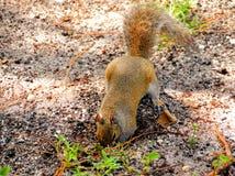 Terra de escavação do esquilo Imagens de Stock Royalty Free