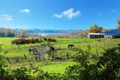 Terra de exploração agrícola do cavalo com os celeiros vermelhos durante a queda. Imagens de Stock Royalty Free