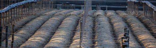 Terra del ginseng panoramica Immagini Stock