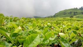 Terra del tè in Java ad ovest Fotografia Stock