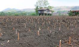 Terra dell'azienda agricola della manioca, agricoltura in Tailandia Fotografia Stock