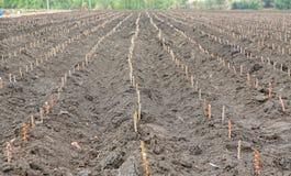 Terra dell'azienda agricola della manioca, agricoltura in Tailandia Fotografie Stock Libere da Diritti