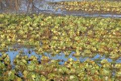 Terra dell'azienda agricola di fertilizzazione del cavolo di decomposizione Fotografia Stock Libera da Diritti