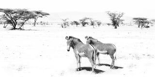 Terra della zebra di Grevy Immagine Stock