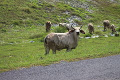 Terra di verde del pascolo della mucca Immagine Stock
