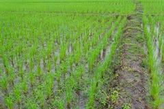 Terra do arroz 'paddy' Foto de Stock