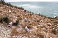 Terra do assentamento da gaivota Imagem de Stock