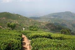 Terra do chá Imagens de Stock