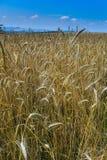 Terra dorata del grano Immagine Stock Libera da Diritti