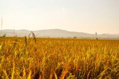 Terra dourada da almofada Imagens de Stock