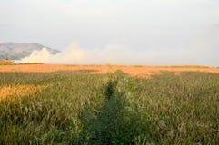Terra dourada do arroz Imagens de Stock