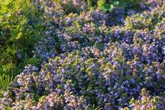 Terra-edera che fiorisce all'indicatore luminoso di sera di aprile Fotografia Stock
