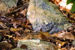 Terra-esquilo de Chipmuck entre as folhas e rochas amarelas com alguns travessos frescos verde-claro Mola closeup imagens de stock royalty free