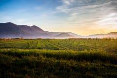 Terra fertile con molti giovani di olivo al tramonto in Croazia Immagini Stock Libere da Diritti