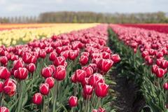 A terra holandesa com campos coloridos da tulipa fotografou com sel Fotos de Stock