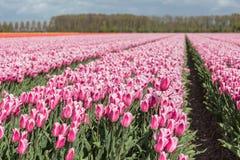 A terra holandesa com campos coloridos da tulipa fotografou com sel Fotografia de Stock Royalty Free