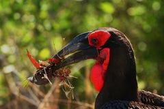Terra-Hornbill Immagine Stock Libera da Diritti