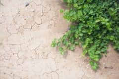 Terra incrinata depressione crescente della pianta verde Immagine Stock Libera da Diritti