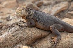 Terra Lguana di Galapagos in isole Galapagos Fotografie Stock Libere da Diritti