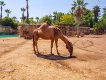 Terra Natura, Benidorm, Spain; August 15, 2019: dromedary in your recreation area. Studly ancient closer bedouins natural nature old travel god wall desert stock images