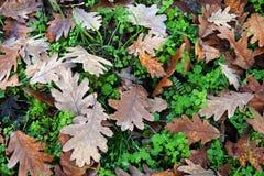 Terra in pieno delle foglie cadute della quercia Fotografia Stock Libera da Diritti