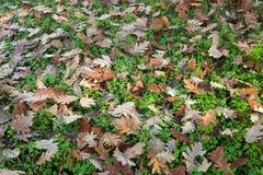 Terra in pieno delle foglie cadute della quercia Immagine Stock